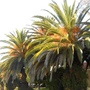 Blooming_palms_in_march_mexico_2013