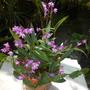 Dendrobium kingianum  - Rock Orchid Flowering (Dendrobium kingianum  - Rock Orchid)