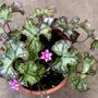"Hepatica nobilis ""Ex cremar"" (Hepatica nobilis (Liverleaf))"