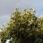 African tulip tree (Spathodea campanulata) seed pods (Spathodea campanulata)