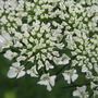Daucus Carrota,  Queen Anne's Lace