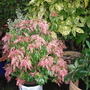 PIERIS JAPONICA PINK DELIGHT