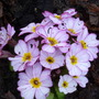 pretty in pink (Primula 'woodland walk')