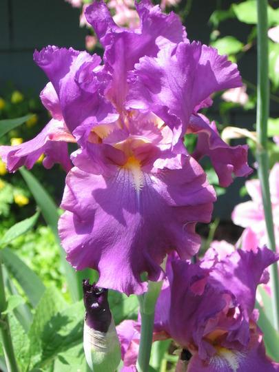 Cranberry Ice (Iris germanica (Orris))