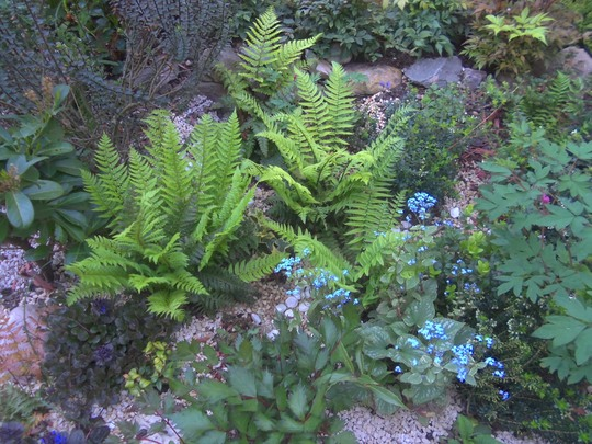 Ferns and Brunnera jack frost