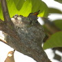 Baby Hummingbirds in Nest  (Baby Hummingbird)