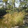 Cyperus papyrus (Cyperus papyrus)