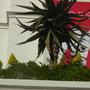 Aeonium arboreum - Aeonium Flowering (Aeonium arboreum - Aeonium)