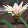 Gaillardia with hoverfly (Gaillardia aristata (Blanketflower))