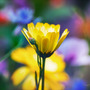 Glory of yellow