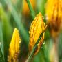 Crocuses in the rain (Crocus flavus (yellow crocus))