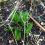 Hyacinth group
