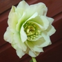 HELLEBORUS