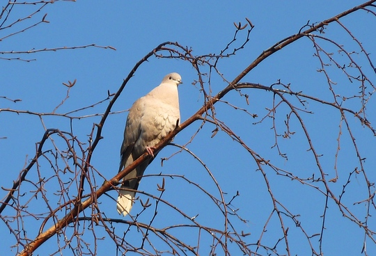 Gentle collared dove   ... ... ...                          in silver birch tree