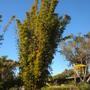 Giant Bamboo (Giant Bamboo)