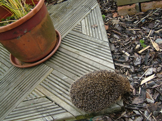 Visitor(hedgehog)!
