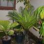 Licuala peltata 'Sumawongii' and Blechnum gibbum (Dwarf Fijian Tree Fern) (Licuala peltata 'Sumawongii' and Blechnum gibbum)