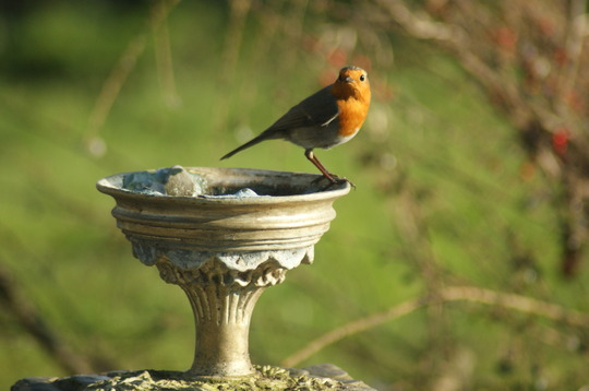 Mr Robin sees me watching him..
