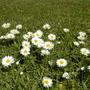 Daisies :D (Bellis perennis (Common Daisy))