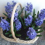 Hyacinth basket. (Hyacinthus)