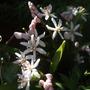 Scilla bifolia 'Rosea' (Scilla bifolia (Alpine Squill))