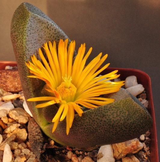 Tanquana hilmarii (Tanquana hilmarii)