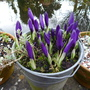 bucket of crocus (Crocus vernus)
