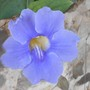 Blue Trumpet Vine flower, Thunbergia grandiflora (Thunbergia grandiflora)