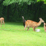 Fawn_kiss_mom_hen_other_fawn_graze_7_04_08_exc_sm