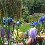 PURPLE PATCH ...   iris and crocus  ... March 2013