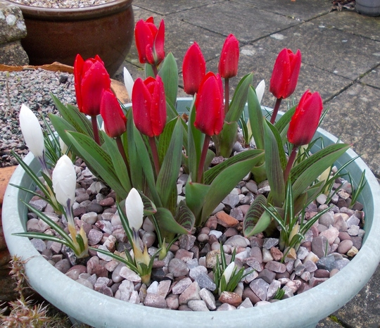 Tulips & crocus