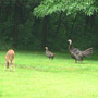 Hen_poult_look_alike_dry_wet_feathers_fawn_7_04_08_exc_sm