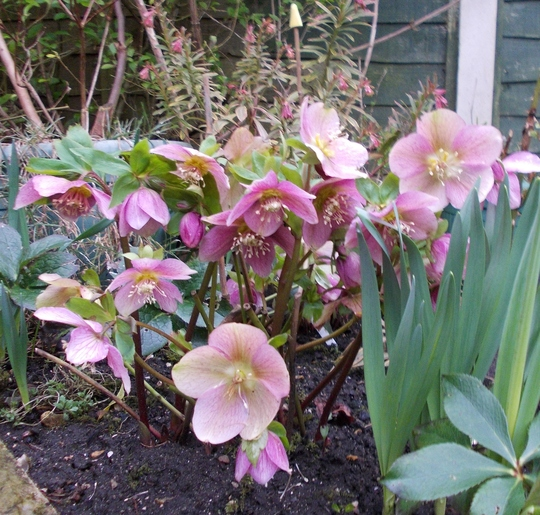 Yet another Hellebore