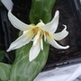 Erythronium_californicum_white_beauty_