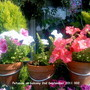 Petunias_on_balcony_02_09_2011_002
