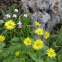 Doronicum_and_ipheion