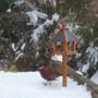 Pheasant at the birdtable