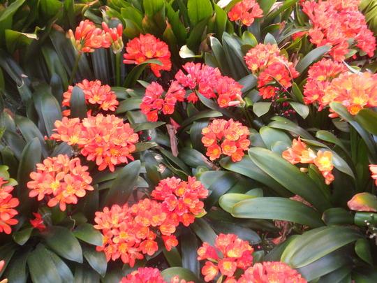 Clivia miniata (Kaffir Lily) in Bloom (Clivia miniata (Kaffir Lily))