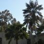 Howea fosteriana - Kentia Palms (Howea fosteriana - Kentia Palm)