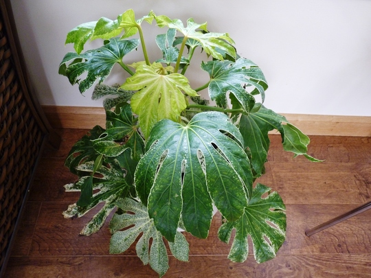 Fatsia 'Spider's Web' is growing well indoors (Fatsia japonica (Japanese aralia))