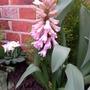 Pink Hyacinth (opening)