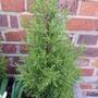 Cypressus - Wilma Goldcrest