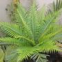 Dwarf Fijian Tree Fern (Blechnum gibbum) (Dwarf Fijian Tree Fern (Blechnum gibbum))