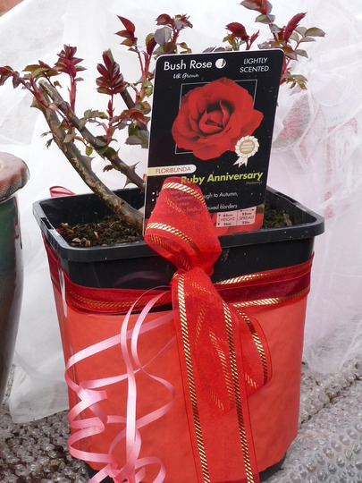Rosa Ruby Anniversary - gorgeous gift from Amy and Tony