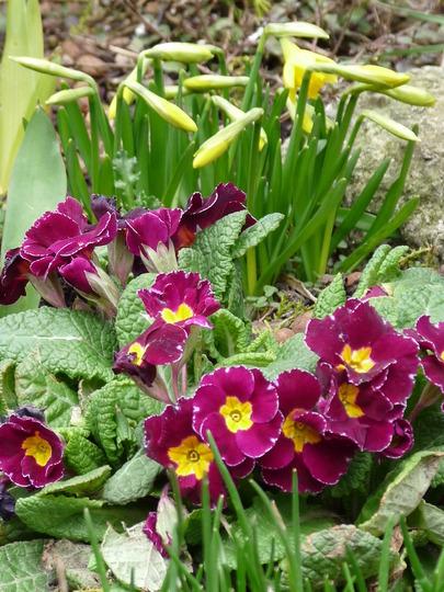 Can Spring be just round the corner?? (Primula polyanthus (Primrose))