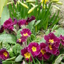 Can Spring be just round the corner?? (Primula polyanthus (Primrose))
