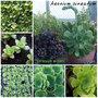 aeonium cuneatum flower/seed/seedling..... (aeonium cuneatum)