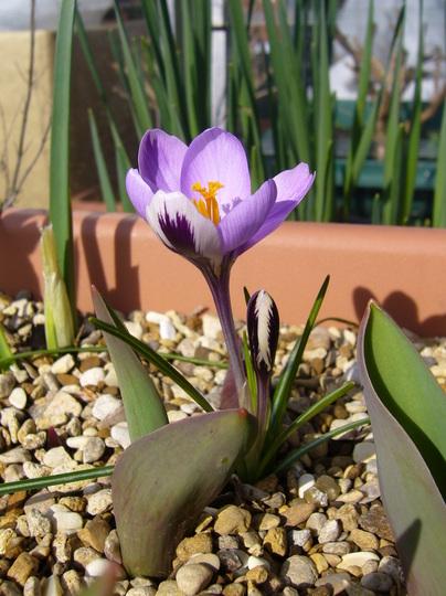 Crocus 'Spring Beauty' (Crocus sieberi (Crocus))