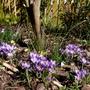 Crocus biflorus 'Blue Pearl' (Crocus biflorus (silvery crocus))