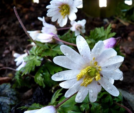 Anemone blanda 'Alba' - windflower